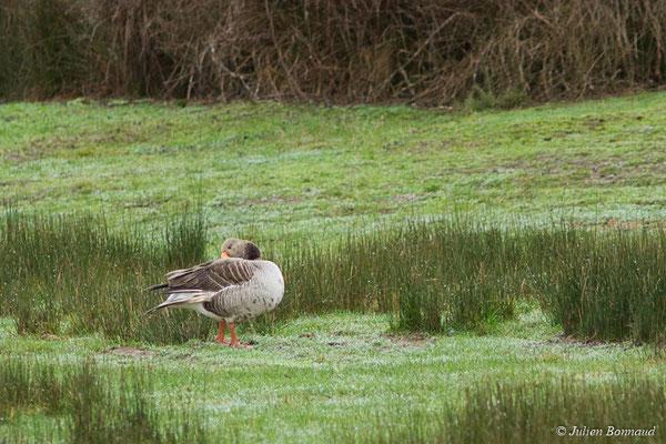 Oie cendrée – Anser anser (Linnaeus, 1758), (réserve ornithologique du Teich (33), France, le 23/01/2018)