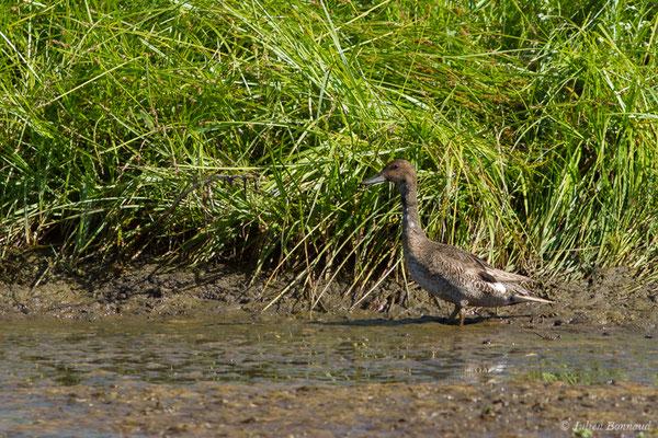 Canard pilet – Anas acuta Linnaeus, 1758, (mâle en plumage estival) (Anglade (33), France, le 20/06/2018)