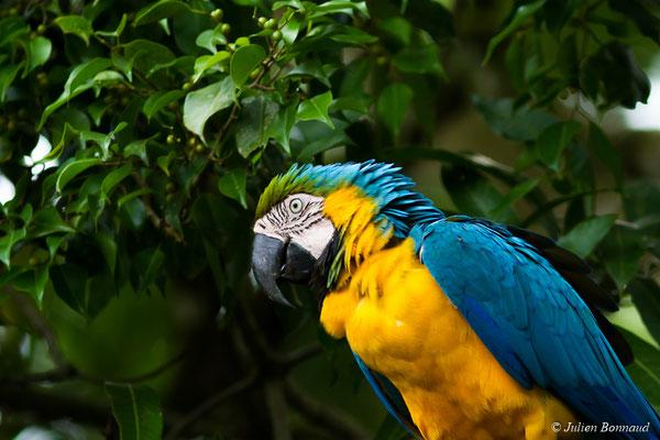 Ara bleu (Ara ararauna) (Zoo de Guyane, Montsinéry, le 22/04/2017)