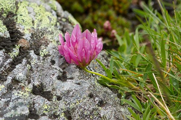 Trèfle des Alpes ou Réglisse des montagnes (Trifolium alpinum) (Station de ski de Gourette, Eaux Bonnes (65), France, le 15/06/2020)