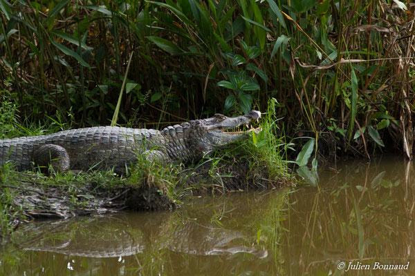 Caïman à lunette (Caiman crocodilus) (adulte) (Montsinéry, le  03/01/2016) prend le soleil sur une berge.