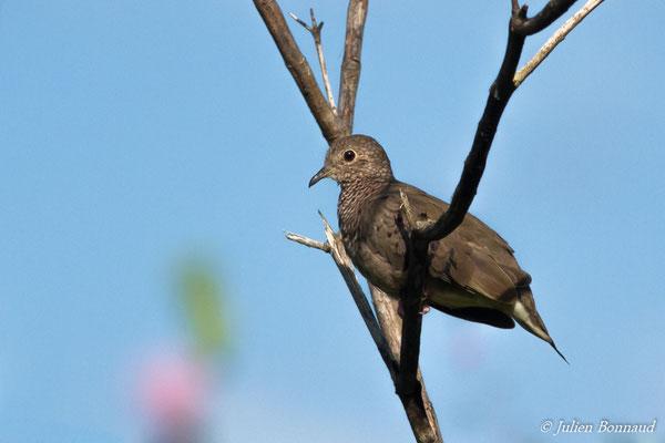 Colombe à queue noire (Columbina passerina) (Petit-Saut, Guyane, le 07/07/2016)