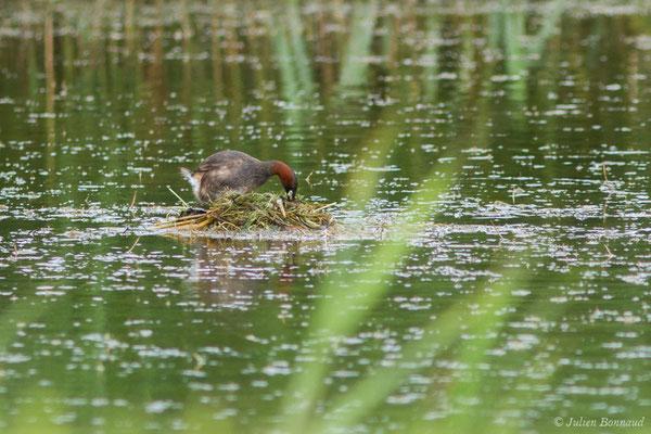 Grèbe castagneux (Tachybaptus ruficollis) (adulte sur son nid)  (réserve ornithologique Terre d'oiseaux, Braud-et-Saint-Louis (33), France, le 20/06/2018)