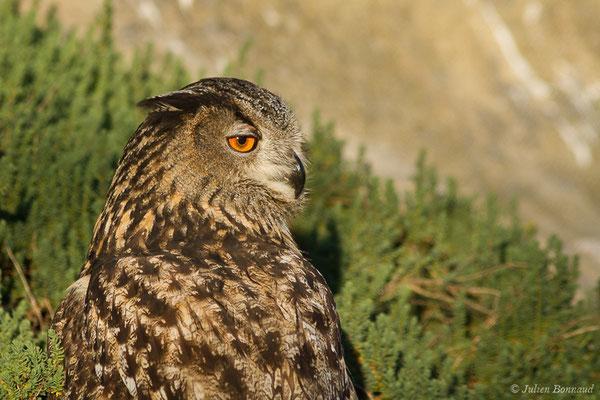 Grand-duc d'Europe (Bubo bubo) (Parc ornithologique de Pont de Gau (13), France, le 20/02/2020)