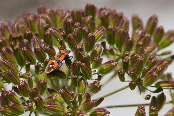 (Spilostethus pandurus) (Laruns (64), France, le 03/08/2019)