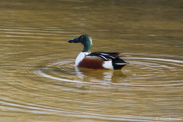 Canard souchet – Anas clypeata (Linnaeus, 1758), (réserve ornithologique du Teich (33), France, le 02/01/2021)