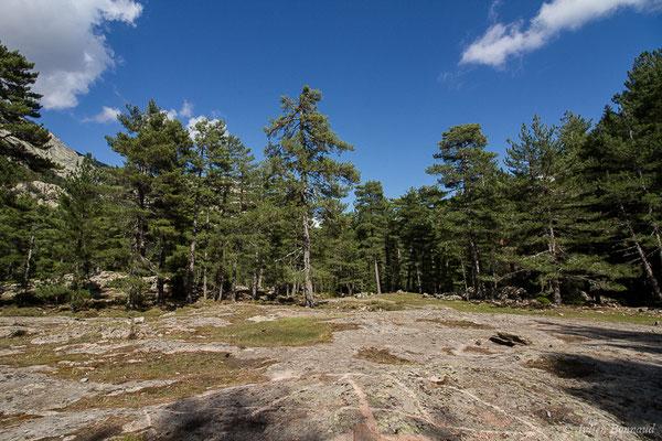 Pin Laricio, Pin de Corse (Pinus nigra subsp. laricio) (Forêt d'Aitone, Évisa (2A), France, le 11/09/2019)