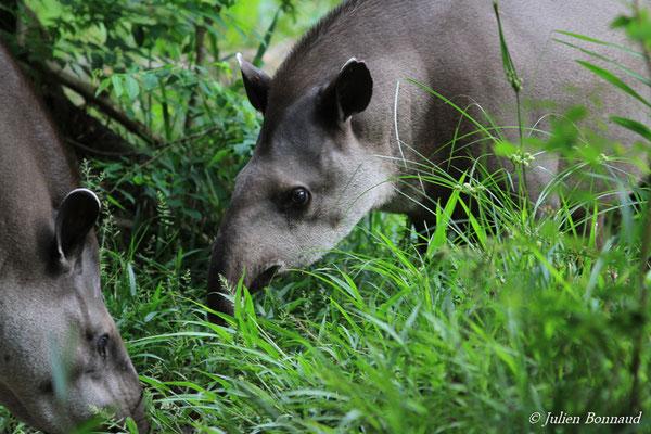 Tapir du Brésil (Tapirus terrestris) (Zoo de Guyane)