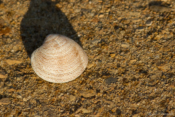 Chamelea striatula (da Costa, 1778), (achat en poissonnerie)