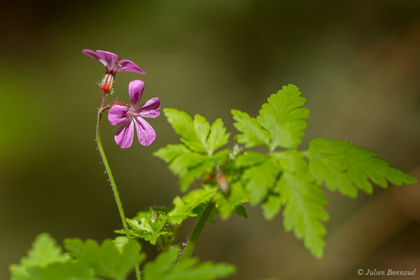Herbe à Robert (Geranium robertianum) (Accous (64), France, le 06/05/2019)