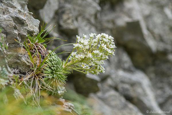 Saxifrage à feuilles longues (Saxifraga longifolia) (Station de ski de Gourette, Eaux Bonnes (65), France, le 15/06/2020)