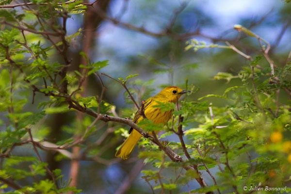 Paruline jaune (Setophaga petechia) (Bois jolan, Saint-Anne, Guadeloupe, le 19/05/2016)