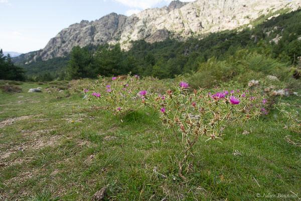 Centaurée chausse-trape (Centaurea calcitrapa) (Foret d'Aitone, Évisa (2A), France, le 11/09/2019)