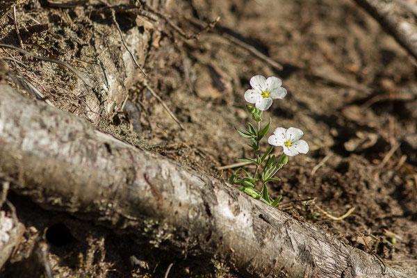 Sabline des montagnes (Arenaria montana) (Arengosse (40), France, le 06/04/2021)