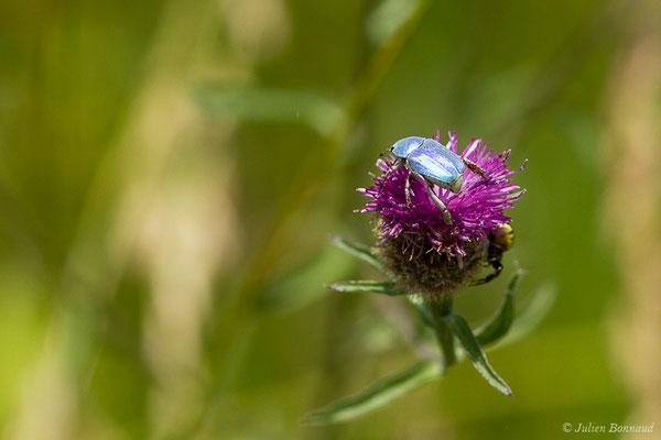 Hoplie bleue (Hoplia coerulea) (Lac (64), France, le 03/06/2020)