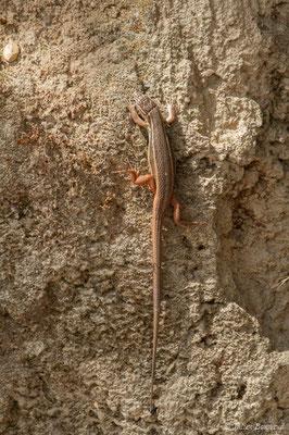 Psammodrome algire – Psammodromus algirus (Linnaeus, 1758), (Nossa Senhora da Tourega (Évora), (Algarve), Portugal, le 05/09/2018)