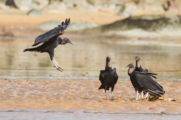 Urubu noir (Coragyps atratus) (Remire-Montjoly, le 10/03/2017)