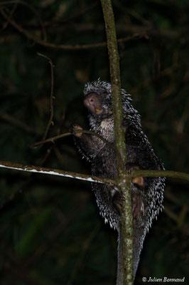Coendou à queue préhensile (Coendou prehensilis) (adulte) (sentier du Rorota, Remire-Montjoly, le 14/07/2017)