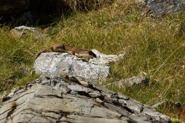 Hermine – Mustela erminea Linnaeus, 1758, (Lac d'Anglas, Gourette (64), France, le 30/09/2018)