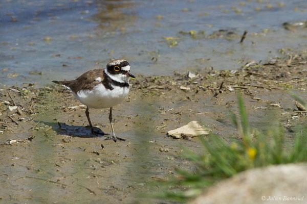 Petit Gravelot – Charadrius dubius Scopoli, 1786, (réserve ornithologique du Teich (33), France, le 23/05/2021)