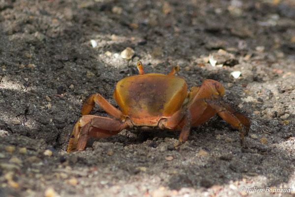 Crabes de terre (Cardisoma guanhumi)