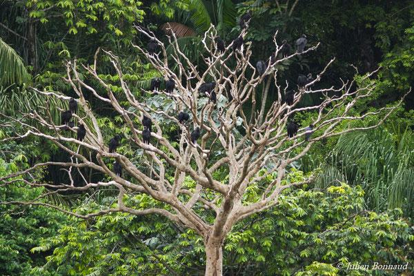Urubus noir sur un arbre mort sur pied, Kourou, le 14/03/2017