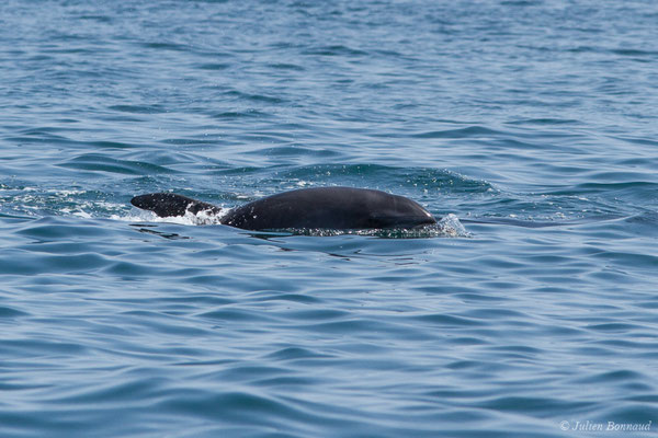 Grand dauphin (Tursiops truncatus) (Sagres (Vila do Bispo), Algarve (Portugal), le 31/08/2018)