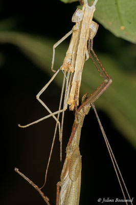 (Periphloea olivaceus) (mâle en mue adulte) (Sentier de la Mirande, le 09/07/2015)