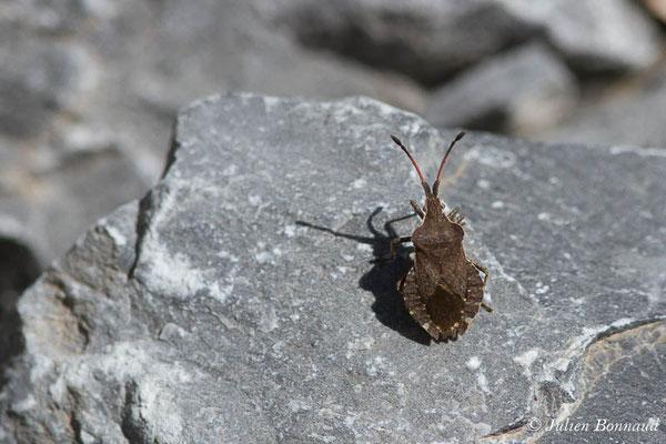 Corée marginée (Coreus marginatus) (Cette-Eygun (64), France, le 24/04/2021)