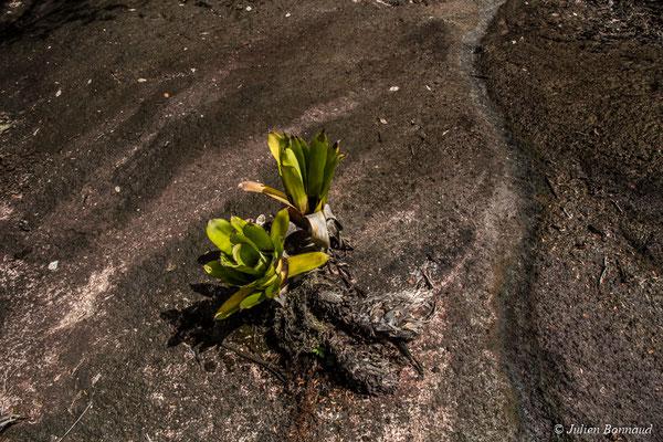 Aechmea polyantha (Savane-roche Virginie, le 17/07/2017)