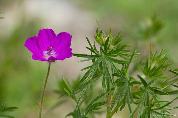 Géranium sanguin (Geranium sanguineum) (Etsaut (64), France, le 19/04/2021)