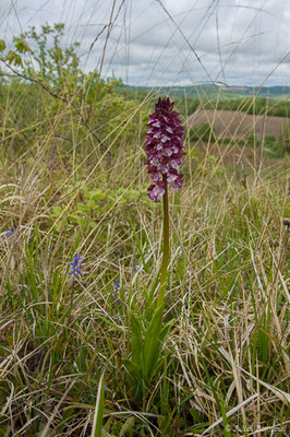 Orchis pourpre (Orchis purpurea) (Aulon (31), France, le 03/05/2019)