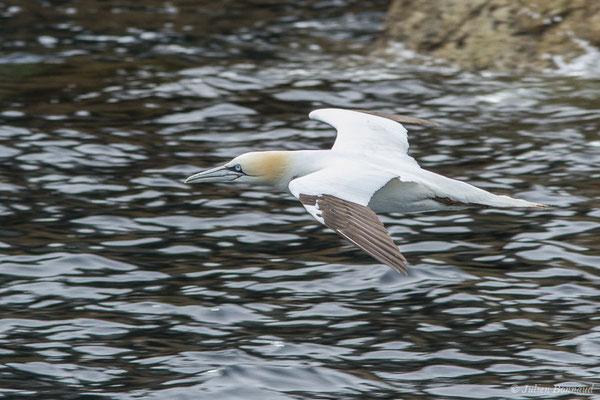 Fou de Bassan – Morus bassanus (Linnaeus, 1758), (Réserve naturelle nationale des Sept-Îles, Perros-Guirec (22), France, le 05/07/2021)