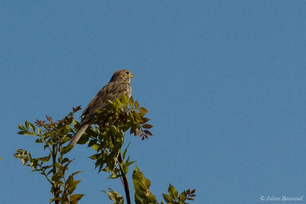 Bruant proyer (Emberiza calandra) (Saint-Thomas-de-Conac (17), France, le 21/06/2018)