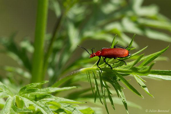 Cardinal à tête rouge (Pyrochroa serraticornis) (Pierrefitte-Nestalas (65), France, le 20/05/2019)