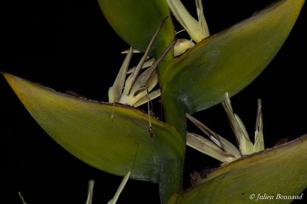 Balourou (Phenakospermum guyanensis) (Remire-Montjoly, le 13/01/2017)