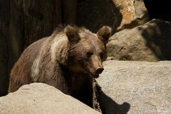 Ours brun – Ursus arctos Linnaeus, 1758, (individu âgé de 3 ans) (Parc animalier des Pyrénées, Argelès-Gazost (65), France, le 15/07/2018)