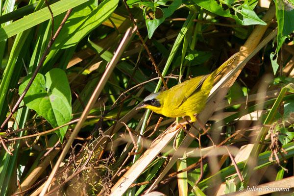 Paruline équatoriale (Geothlypis aequinoctialis) (mâle adulte) (Marais leblond, Cayenne le 03/12/2016)