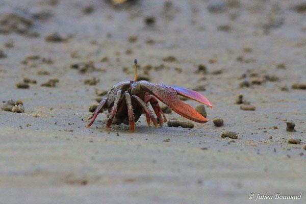 Crabe violoniste (Uca maracoani) (Dégrad de Guatémala, le 02/01/2016)