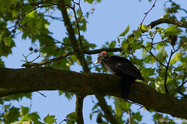 Pic noir (Dryocopus martius) (Maurrin (40), France, le 14/04/2020)