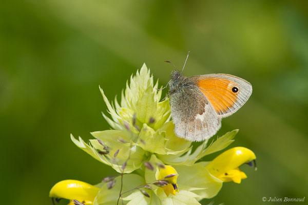 Amaryllis (Pyronia tithonus) (Pierrefitte-Nestalas (65), France, le 20/05/2019)