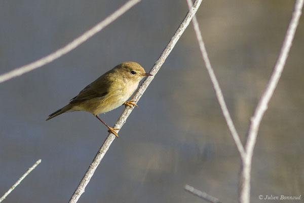 Pouillot véloce (Phylloscopus collybita) (Parc écologique Plaiaundi, Irun, Espagne, le 20/12/2020)