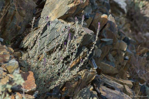 Lavande papillon, Lavande Stéchade (Lavandula stoechas) (Notre-Dame du Mai, Six-Fours-les-Plages (83), France, le 02/02/2021)