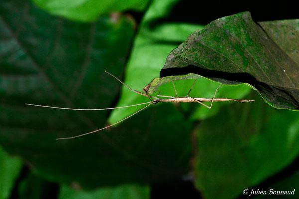 (Agrostia longicerca) (mâle adulte) (Route de Roura, le 08/08/2015)