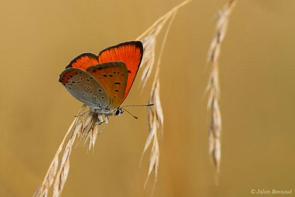 Cuivré des marais ou Grand cuivré (Lycaena dispar) (mâle) (Labastide-Monréjeau (64), France, le 23/07/2019)