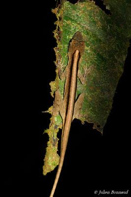 Anolis brun doré (Norops fuscoauratus) (adulte) (Sentier de la Mirande, Matoury, le 09/07/2015)