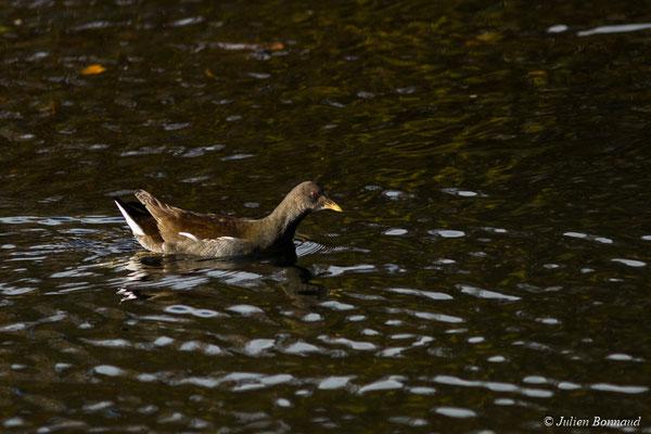 Gallinule poule-d'eau – Gallinula chloropus (Linnaeus, 1758), (immature) (Pontivy (56), France, le 13/11/2017)