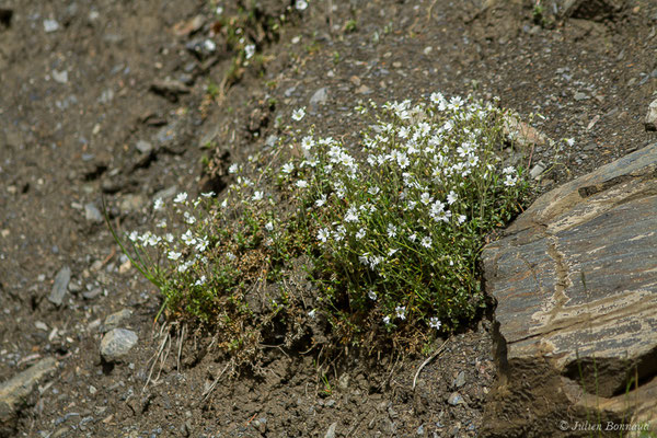 Céraiste de Soleirol (Cerastium soleirolii) (Sers (65), France, le 07/06/2019)
