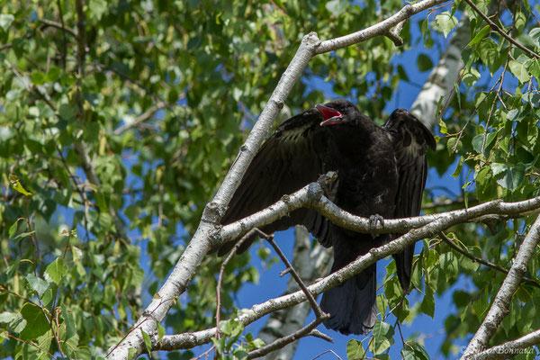 Corneille noire (Corvus corone) (juvénile) (Pau (64), France, le 06/06/2021)