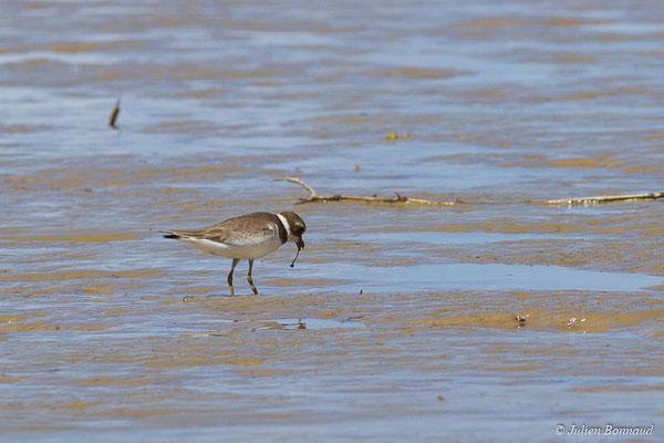 Pluvier semipalmé (Charadrius semipalmatus) (adulte, plumage internuptial) (Route des plages, Remire-Montjoly, Guyane, le 29/03/2017)